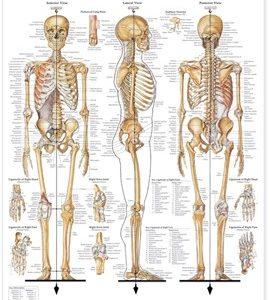 Skeletal-System
